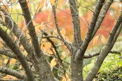 Herbstliches Laub des dekorativen Ahornbaums Stockfotos