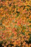 Herbstliches Laub des dekorativen Ahornbaums Stockbilder