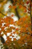 Herbstliches Laub des dekorativen Ahornbaums Stockbild