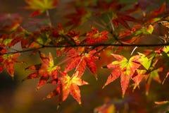 Herbstliches Laub des dekorativen Ahornbaums Lizenzfreies Stockfoto