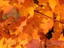 Herbstliches Laub von Acer Stockfotografie