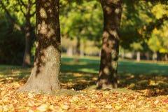 Herbstmorgen im Park mit Ahornbäumen Stockfotografie