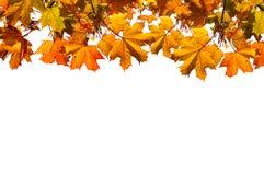 Herbstnaturhintergrund mit freiem Raum für Text - bunte orange Herbstahornblätter lokalisiert auf dem weißen Hintergrund Stockbilder