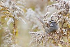 Herbstnaturhintergrund - Weißkehlammervogel Lizenzfreies Stockbild