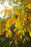 Herbstniederlassung von Walnussblättern lizenzfreie stockfotos