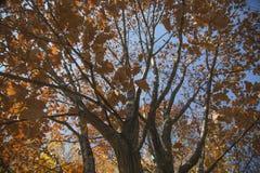 Herbstniederlassungen auf Bäumen Stockbild