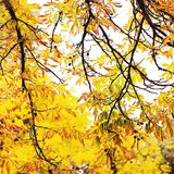 Herbstniederlassungen der Kastanie Lizenzfreie Stockfotos