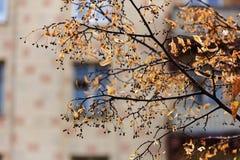 Herbstniederlassungen der Limettenbäume Stockfoto