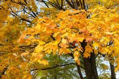 Herbstniederlassungen des Ahorns Lizenzfreie Stockbilder