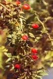 Herbstniederlassungen eines Busches eines dogrose mit roten Früchten Stockbilder