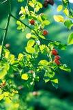 Herbstniederlassungen eines Busches eines dogrose mit roten Früchten Lizenzfreie Stockfotos