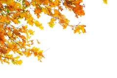 Herbstorangenblätter auf einem weißen Hintergrund Lizenzfreies Stockfoto