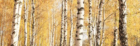 Herbstpanorama mit gelben Birken in der Birkenwaldung Lizenzfreies Stockfoto
