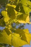 Herbstpappelblätter Lizenzfreie Stockfotos