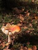 Herbstpilz Stockfoto