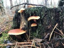 Herbstpilze wachsen auf einem Stumpf im Wald Lizenzfreie Stockfotos