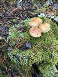 Herbstpilze wachsen auf einem Stumpf im Wald Lizenzfreies Stockfoto