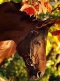 Herbstportrait des Schachtpferds Stockfotos