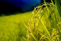 Herbstreis archiviert, ungeschälter Reis lizenzfreie stockfotografie