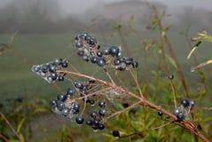 Herbstruhestand - Holunderbeeren mit Spinnenweb Stockfotografie