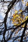 Herbstsaison, Baumaste, Laub, Blätter und Wolken Stockfoto