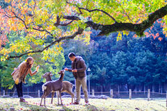 Herbstsaison mit schöner Ahornfarbe bei Nara Park, Japan Stockbilder