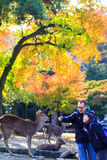 Herbstsaison mit schöner Ahornfarbe bei Nara Park, Japan Stockfoto