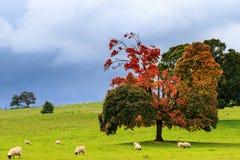 Herbstschafe lizenzfreie stockfotografie