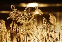Herbstschilf Stockfotografie