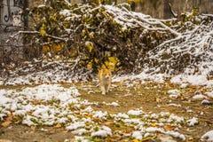 Herbstschnee und Ingwerkatze stockfoto