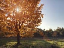 Herbstsonne durch die goldene Krone eines Baums Lizenzfreies Stockbild
