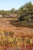 Herbstsumpf in Estland Stockbild