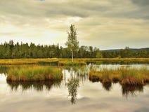 Herbstsumpf mit SpiegelWasserspiegel im mysteriösen Wald, junger Baum auf Insel in der Mitte Neue grüne Farbe von Kräutern und vo Stockbilder