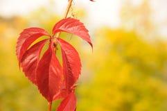 Herbsttraube Stockfoto