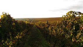 Herbsttrauben morgens Lizenzfreies Stockfoto