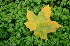Herbsturlaub auf grünen Sprösslingen lizenzfreie stockbilder