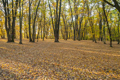 Herbstwald bei Sonnenuntergang Lizenzfreies Stockfoto