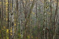 Herbstwald in einem regnerischen Wetter Stockfoto