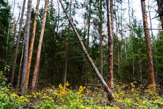 Herbstwald, hohe Bäume, gefallene Kiefer Stockfotos