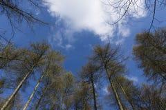 Herbstwald, hohe Bäume und Laub oben schauend Stockbilder