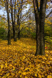 Herbstwald im Laub Lizenzfreie Stockfotos
