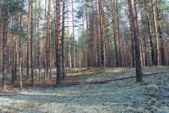 Herbstwald, -kiefer, -moos und -sonnenschein Stockfotografie