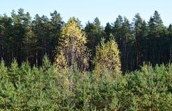 Herbstwald in Lettland stockfoto