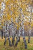 Herbstwald mit gelben Birken Stockfoto