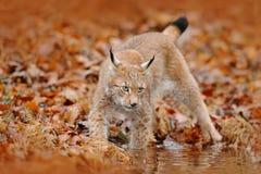 Herbstwald mit Luchs Luchs, der in die orange Blätter geht Wildes Tier versteckt im Naturlebensraum, Deutschland Luchs zwischen B Stockbild