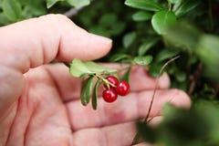 Herbstwaldlingonberry, Buschbeerenabschluß oben lizenzfreie stockbilder