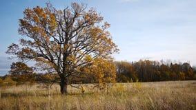 Herbstweg auf Hintergrund der einsamen alten Eiche stock video footage
