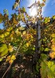 Herbstweinberg in Napa Valley Lizenzfreie Stockbilder