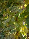 Herbstweinblätter gegen Sonnenunterganghintergrund Stockfoto