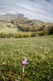 Herbstzeitlose auf einem Hügel (Colchicum autumnale) lizenzfreies stockbild